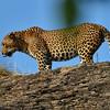 SRY_0461-Leopard-toung
