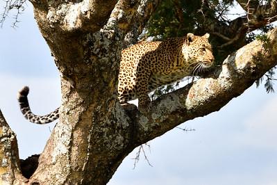 NEA_3596-Leopard meal in site