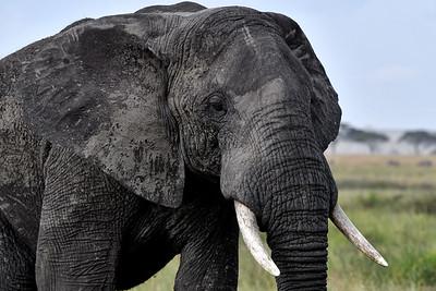 NEA_3647-Elephant