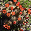 NEA_0510-Cactus Flowers