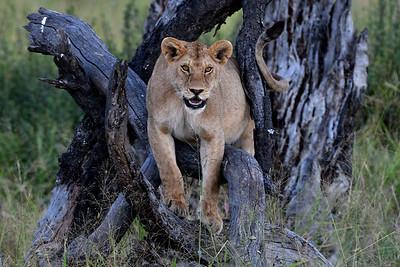 NEA_3681-Lion