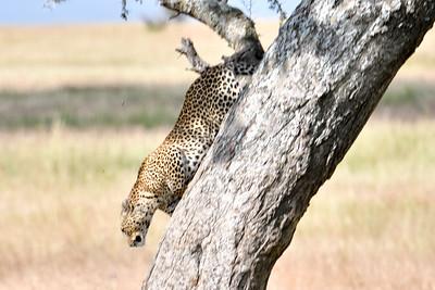 NEA_3599-Leopard Headed for dinner