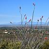 NEA_1608-Ocotillos in bloom