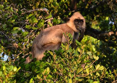 SRY_0434-7x5-Langur Monkey