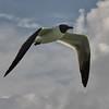 NEA_4905-7x5-Gull