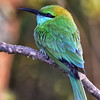 SRI_2124-5x7-Little Green Bee Eater