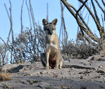 NEA_5404-Gray Fox