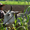 MYA_2817-Farmer and cow