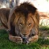 NEA_7177-7x5-Lion