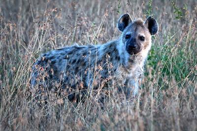 NEA_3843-Spoted Hyenia-Vinette