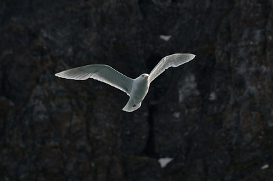 ART_1759-Glacus Gull in flight