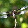 NEA_7296-7x5-Dragon Fly