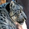 NEA_1417-5x7-Snow-Leopard