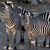 NEA_7218-7x5-Zebra