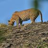 SRY_0465-Leopard