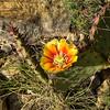 NEA_2095-Cactus Flower