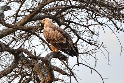 NEA_4115-Brown Snake Eagle