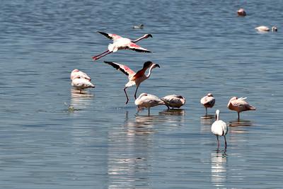 NEA_3485-Flamingos