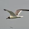 NEA_4848-7x5-Gull
