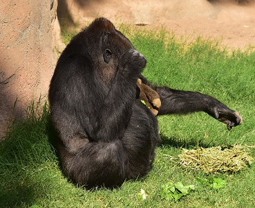 NEA_6924-Gorilla w doll