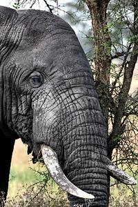 NEA_3616-Elephant