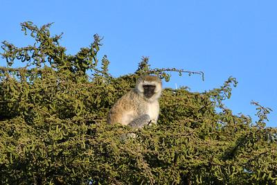 NEA_3862-Monkey