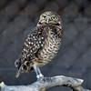 NEA_7157-7x5-Owl