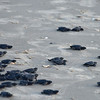 NEA_3834-7x5-Turtle Release