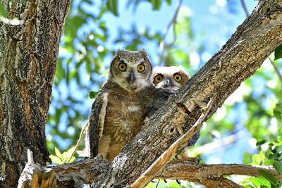 NEA_6593-Owls