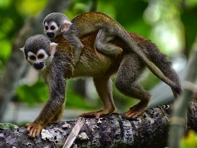 ECQ_1464-Spider Monkey-Baby