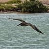 NEA_4857-7x5-Pelican