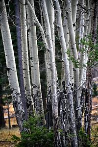 NEA_0977-Aspen Grove