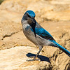 .<br /> This fellow landed beside me at Grand Canyon.  I'm not a bird person, but have been told it appears to be a a Western Scrub-Jay