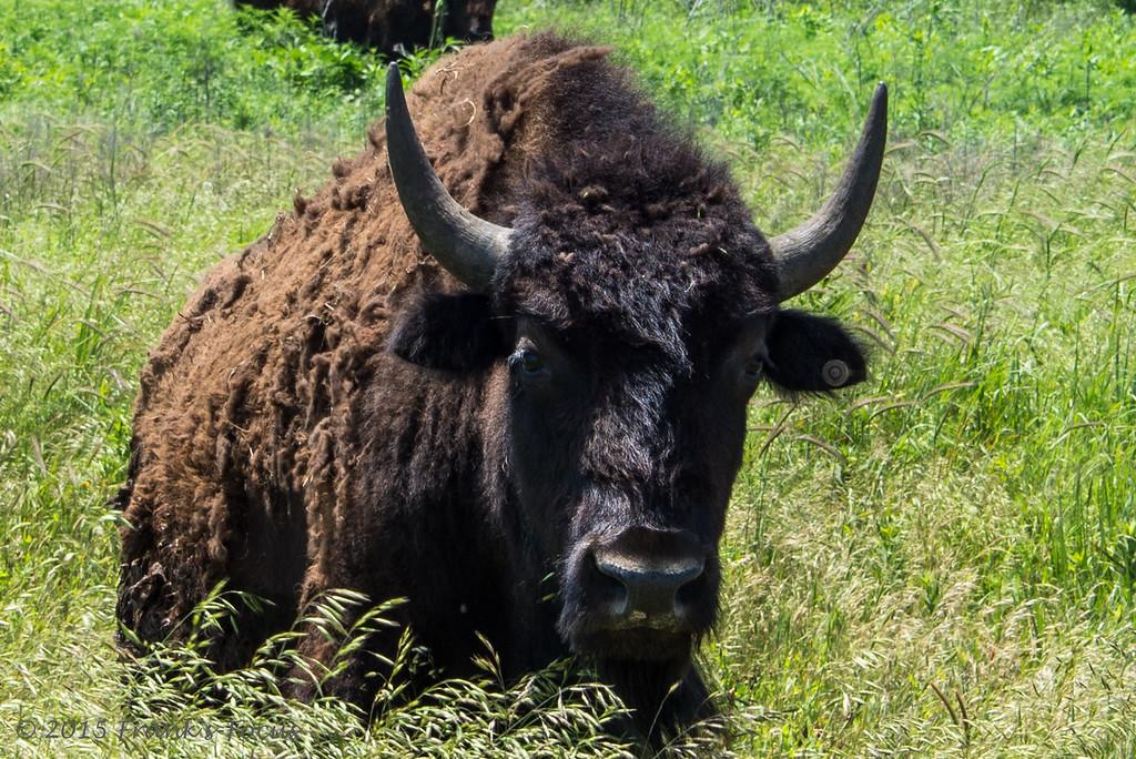 Friday, June 5, 2015 -- American Bison