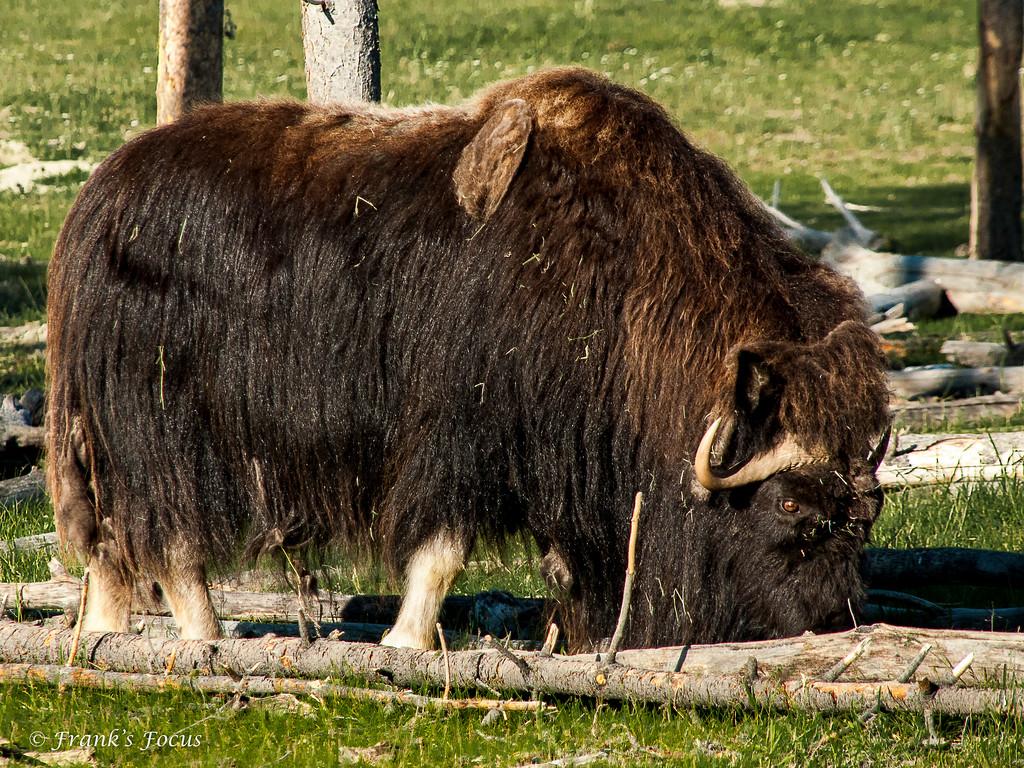 February 13, 2017 -- Yukon Musk Ox