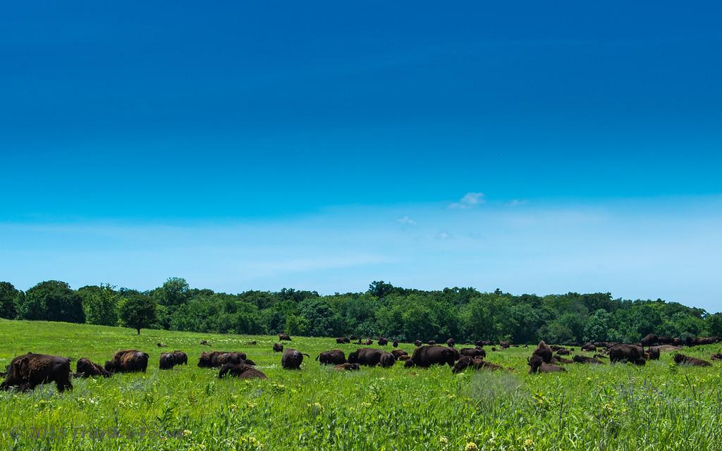 Monday, June 8, 2015 -- ..... where the Buffalo roam .....