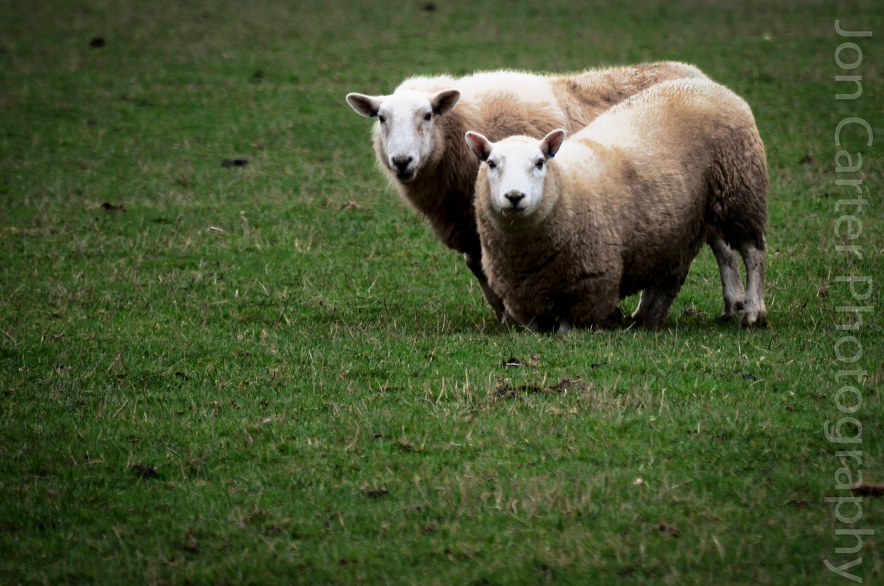 January 29 - How are Ewe?  Went out looking for a photo and thought it was time to capture a photo of an animal and these two friends were the only animals that didn't run a million miles when I approached to take a photo. This was taken with my 300mm lens.