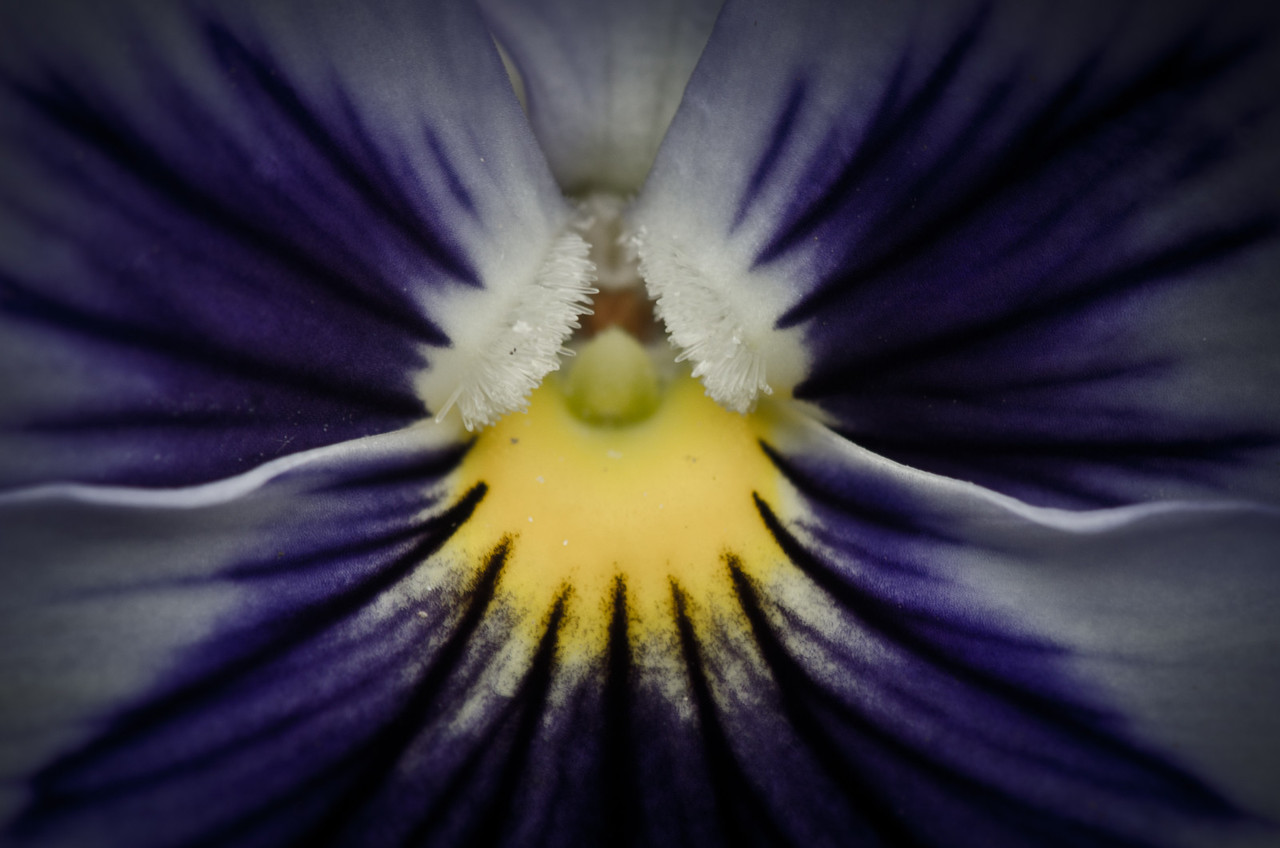June 9 - Pansy  A macro of the centre of a pansy. I removed some saturation and used a spot removal tool to clean up some of the pollen on the flower.