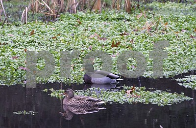 Robert Layman / Staff Photo  A mallard pair makes their dabbling rounds through the brisk pond waters at the College of St. Joseph Campus Wednesday morning.