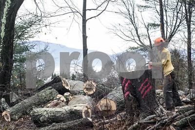 Robert Layman / Staff Photo  Arborist Sean Rynne of Vaillancourt Tree & Landscape Service levels off a stump after felling a tree along Quarterline Road in Rutland Wednesday morning.