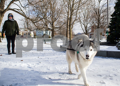 Robert Layman / Staff Photo Bella the husky from Bomoseen gets a walk by her owner at the snowy Fair Haven town green on a blustery Friday morning.