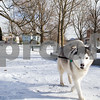Robert Layman / Staff Photo<br /> Bella the husky from Bomoseen gets a walk by her owner at the snowy Fair Haven town green on a blustery Friday morning.
