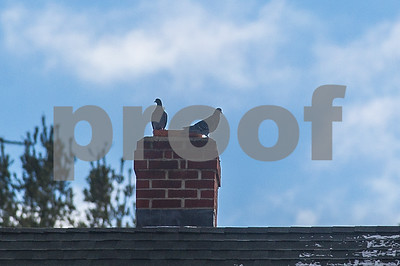 Robert Layman / Staff Photo A pair of pigeons catch some rays as they roost on a chimney in West Rutland Wednesday morning.