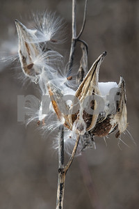 Robert Layman / Staff Photo Wind carries away seeds from a milkiweed capsule Wednesday morning in West Rutland.