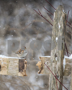 Robert Layman / Staff Photo An American tree sparrow perches on a broken fence railing at the West Rutland Marsh as the winds blow during Tuesday's blizzard moves through the region.