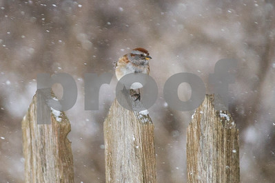 Robert Layman / Staff Photo An American tree sparrow clings on to a fence post at the West Rutland Marsh as the winds blow during Tuesday's blizzard moves through the region.