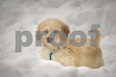 Robert Layman / Staff Photo Cardamom, a golden doodle puppy, enjoys his first time seeing snow as he plays around the yard in Center Rutland Wednesday evening.