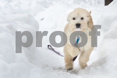 Robert Layman / Staff Photo Cardamom, a golden doodle puppy, enjoys his first time seeing snow as he plays around the yard unleashed in Center Rutland Wednesday evening.