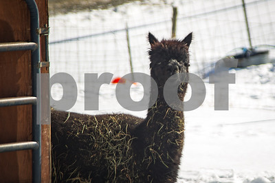 """HAY THERE"" Robert Layman / Staff Photo An alpaca covered in hay steps out from its barn in Ira and into the sun Wednesday afternoon."