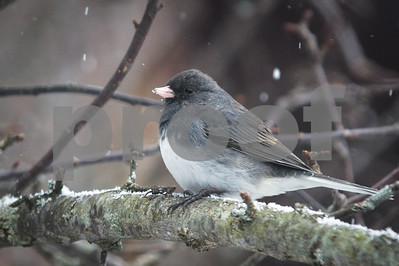 Robert Layman / Staff Photo A dark-eyed Junco catches some flakes during Friday's snowfall.